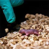 Chuột con sinh ra từ hai con chuột đồng tính