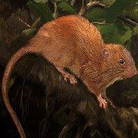 Chuột dài nửa mét có thể cắn vỡ vỏ quả dừa