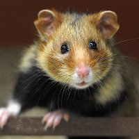 Chuột Hamster tại Pháp đang biến thành những sát thủ máu lạnh vì một loại thực vật cực kỳ phổ biến