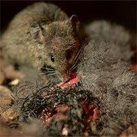 Chuột ngoại cỡ ăn thịt chim biển có nguy cơ tuyệt chủng
