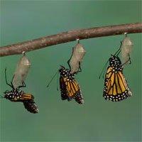 Chuyện gì xảy ra bên trong nhộng côn trùng, làm sao chúng có được đôi cánh để bay?