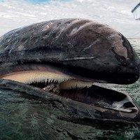 Chuyện gì xảy ra nếu bạn bị cá voi nuốt chửng?