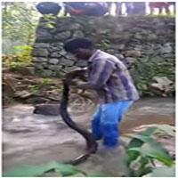 Chuyên gia bắt rắn tay không tóm hổ mang chúa dài 5 mét
