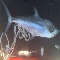 Chuyện hy hữu: Cá nhảy lên thuyền, cứa cổ người đi câu ở Úc