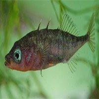 Chuyện lạ: Con cá này không đẻ trứng mà lại mang thai, sinh con