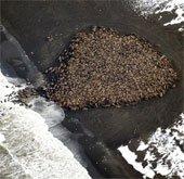 Chuyện lạ: Hàng chục ngàn con hải mã ồ ạt đổ bộ bãi biển Alaska
