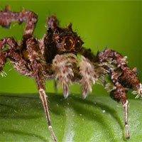 Chuyện về con nhện đi săn nhện: Thạo binh pháp như