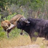 Clip: Trâu rừng húc sư tử đực văng lên trời