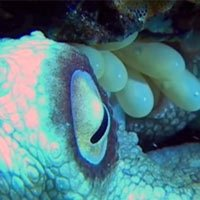 Clip: Xem bạch tuộc cái ấp nở hàng trăm quả trứng