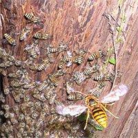 Cơ chế phòng vệ của ong mật Nhật Bản khiến ong bắp cày châu Á cũng phải tránh xa