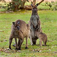 Có gì bên trong túi Kangaroo, phức tạp nhiều hơn những gì bạn từng nghĩ
