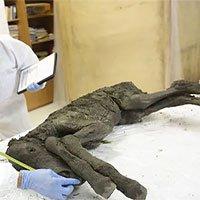 Cơ hội nhân bản được loài ngựa đã tuyệt chủng 42.000 năm