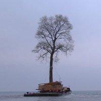 Cổ thụ 100 tuổi vượt biển bằng sà lan