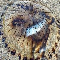 Con cá chết tức tưởi bên trong bụng sứa la bàn: Xác của kẻ săn mồi lẫn con mồi còn nguyên vẹn!