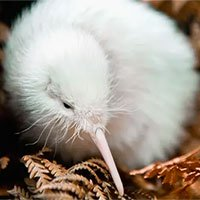 Con chim kiwi trắng cực hiếm ở New Zealand vừa qua đời