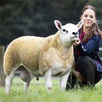 Con cừu đắt nhất thế giới, giá gần 11,4 tỷ đồng có gì đặc biệt?