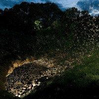 Cơn lốc dơi tràn ra từ hang động nhiều dơi nhất thế giới