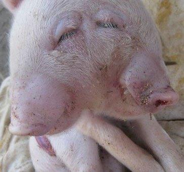 Con lợn hai đầu