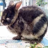 Con thỏ hiếm nhất thế giới được giải cứu nhờ… Facebook