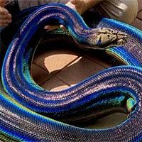 Con trăn ở Mỹ nổi tiếng nhờ bộ da cầu vồng độc đáo