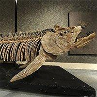 Công bố hóa thạch 70 triệu năm tuổi của cá xương khổng lồ