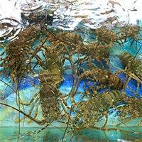 Công nghệ nuôi tôm hùm trên bờ cho năng suất cao