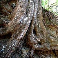 """Cụ cây thông đỏ """"thành tinh"""", hơn 450 tuổi vẫn"""