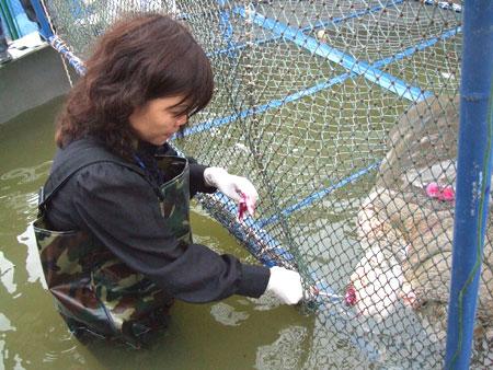 Cụ Rùa sẽ được gắn thiết bị định vị trước khi thả về hồ Gươm