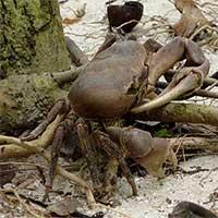 Cua xe tăng - loài cua cạn lớn nhất Việt Nam chỉ có ở Côn Đảo