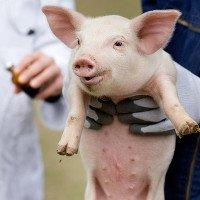 Cuba chuẩn bị sản xuất hàng loạt vaccine chống bệnh tả lợn châu Phi