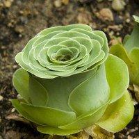 """Cực độc thực vật có thể """"giả dạng"""" hoa hồng tuyệt đẹp"""