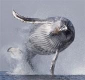 Cùng ngắm cú nhảy kinh điển của cá voi lưng gù