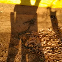 Cuộc chiến giữa cầy Mangut và rắn có kết cục bất ngờ: Kẻ bị kéo lê lại chính là kẻ đi săn