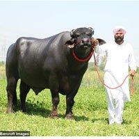 Cuộc sống vương giả của chú bò 70 tỷ đồng
