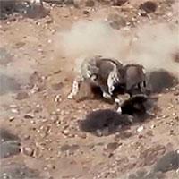 Cừu hoang bất ngờ bị báo tuyết rượt đuổi, tấn công: Pha thoát chết
