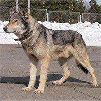 Đặc tính khiến chó lai sói không thích hợp làm thú cưng