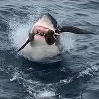 Dám tranh mồi với cá mập trắng, chim hải âu phải trả giá đắt