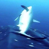 Đàn cá mập lụa áp sát cá mập voi để cọ lưng