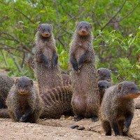 Đàn cầy mangut hợp sức ăn thịt trăn khổng lồ