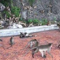 Đàn khỉ bất lực nhìn trăn siết chết đồng loại