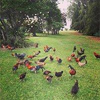 Đảo Kauai - Nơi hàng nghìn con gà chạy rông nhưng không ai ăn