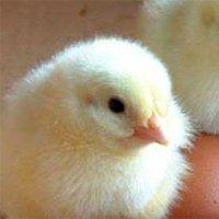 Đáp án của các nhà khoa học: Gà có trước trứng!