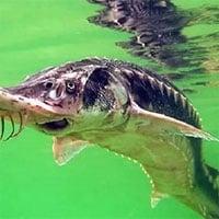Đập thủy điện 800 triệu USD đe dọa cá tầm cực kỳ nguy cấp