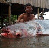 Đập thủy điện sẽ làm cá tra sông Mekong tuyệt chủng