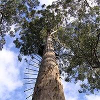 Dave Evans Bicentennial - Cái cây đáng sợ nhất Australia