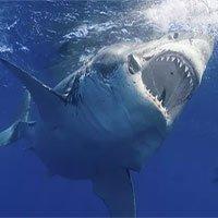Đây là sinh vật biển chỉ cần bơi ngang cũng khiến cá mập trắng lớn sợ hãi mà