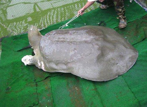 Đề xuất không gắn thiết bị theo dõi Rùa hồ Gươm