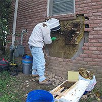 Di dời tổ ong mật 35.000 con trong tường nhà dân Mỹ