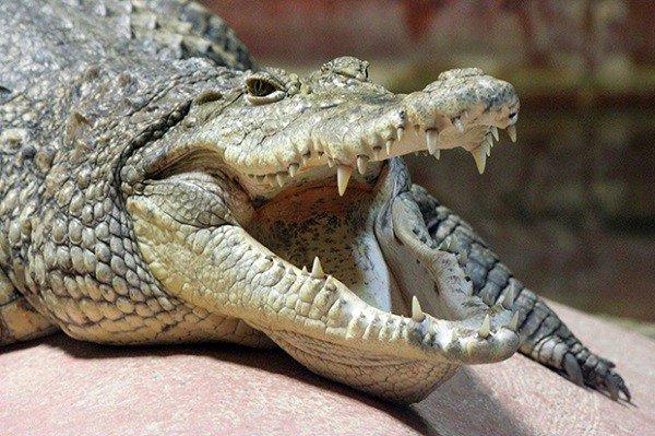 Điểm danh 12 loài động vật có cú đớp uy lực nhất thế giới tự nhiên