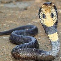 Điều gì xảy ra khi bạn bị rắn hổ mang cắn